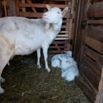 O capră de rasă Zannen germană a fătat 4 iezi!