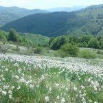 "20-21 mai 2017: Va avea loc ""Serbarea narciselor"", la Negrileasa, județul Alba | abrudinfo.ro"