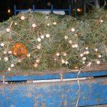 12 pomi de Crăciun confiscați de polițiști de la un bărbat de 33 de ani din Abrud care nu a putut prezenta actele de proveniență ale acestora