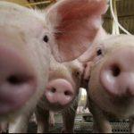 Când este Ignatul porcilor. Ziua de Ignat: porcii se taie în zorii zilei, se stropesc cu apă sfințită | abrudinfo.ro