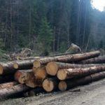 În acest an, din padurea ce aparține orașului Abrud vor putea fi recoltați 2.282 mc de lemn